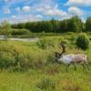 Reindeer Antler Grass Bushes Water  - WalterBieck / Pixabay