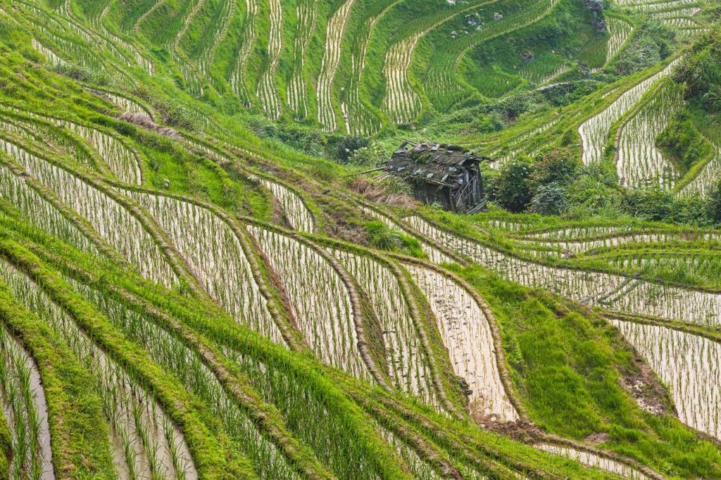 Rice Fields Rice Paddies  - chrisstenger / Pixabay