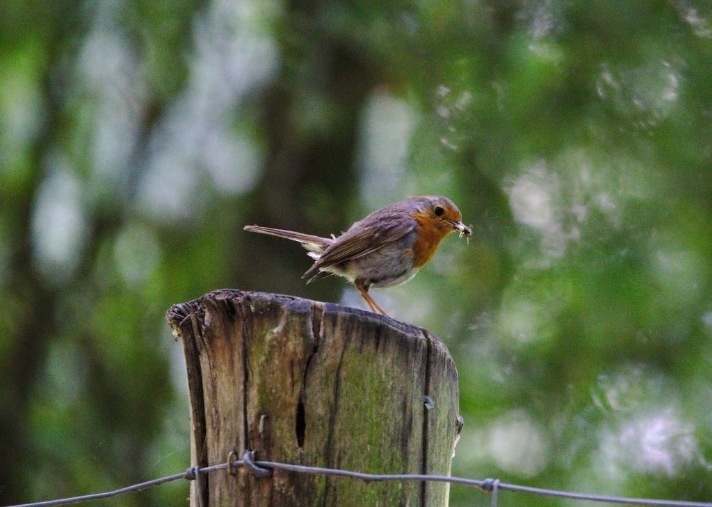 Robin Bird Animal World Songbird  - koala0815 / Pixabay