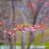 Sakura Flowers Cherry Blossoms  - PhươngNguyễn / Pixabay