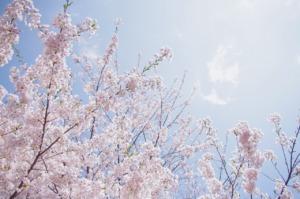 Sakura Sky Spring Cherry Pink  - May_hokkaido / Pixabay