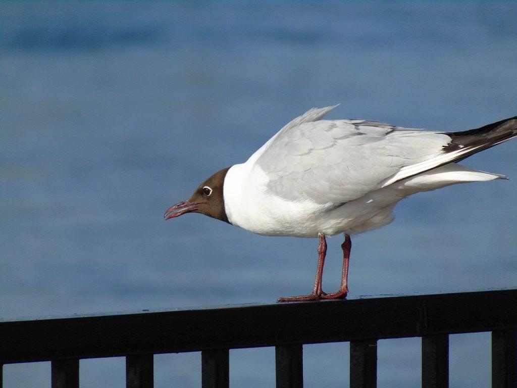 Seagull Bird Nature Aggression  - Dmitry-Belov / Pixabay
