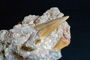 Shark Tooth Fossil Petrified  - Camera-man / Pixabay