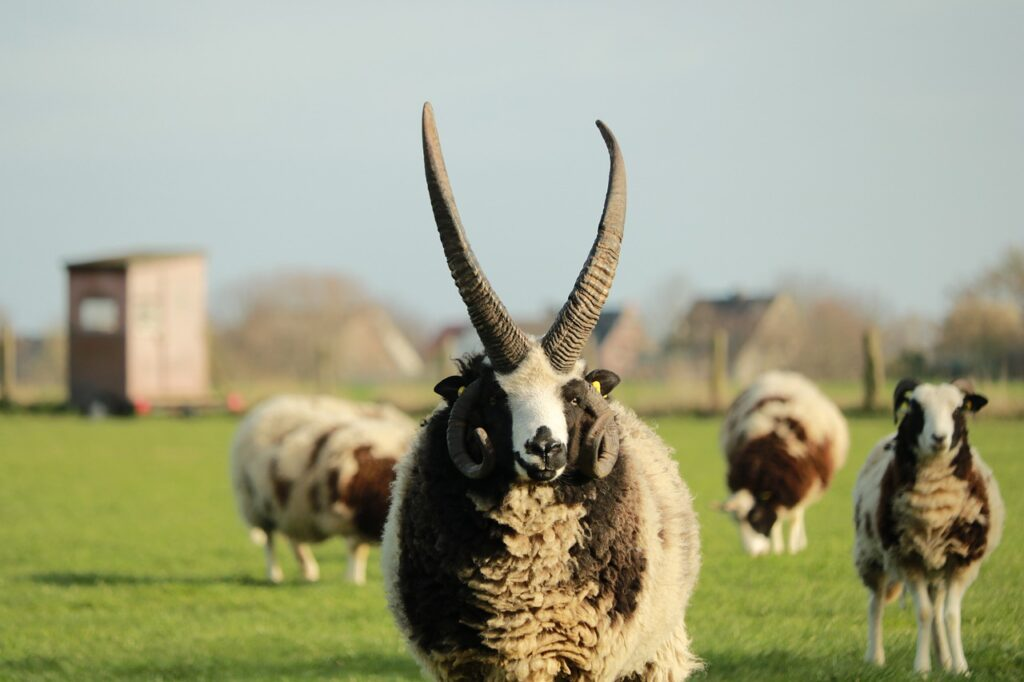 Sheep Horns Mammal Wool  - Caniceus / Pixabay