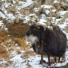Sheep Iceland Winter Livestock  - Wolfgang_Hasselmann / Pixabay