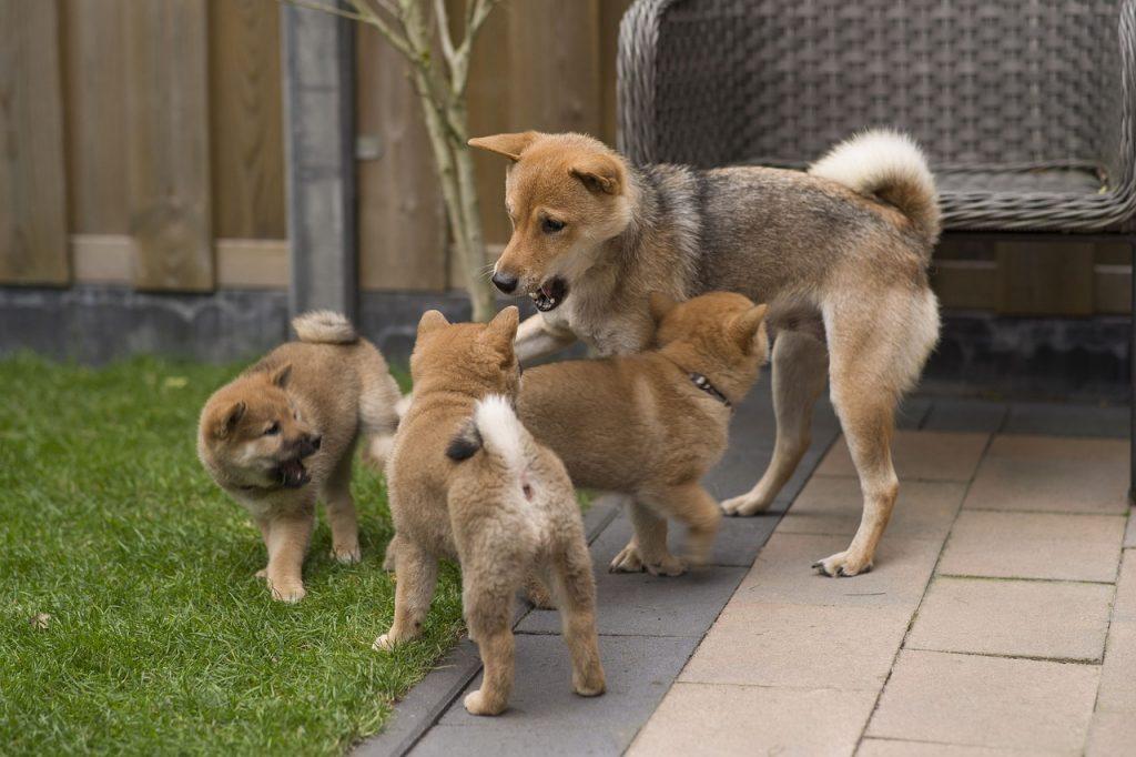 Shiba Puppies Dogs Puppy Shiba Inu  - 13040762 / Pixabay