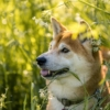 Shiba Shiba Inu Dog Pet Cute  - Thorsten1970 / Pixabay