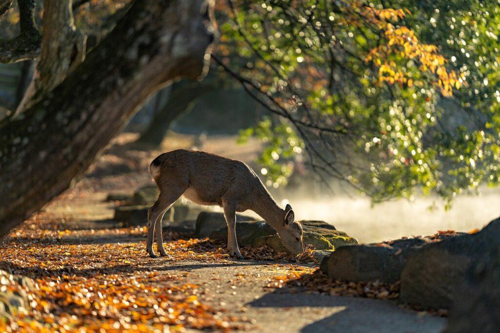 Sika Deer Nara Park Deer Mammal  - KANENORI / Pixabay