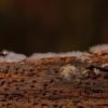 Slime Mold Amoeba Wood Slime Mould  - adege / Pixabay
