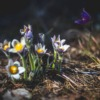 Snowdrops Forest Spring Nature  - xandrix1911 / Pixabay