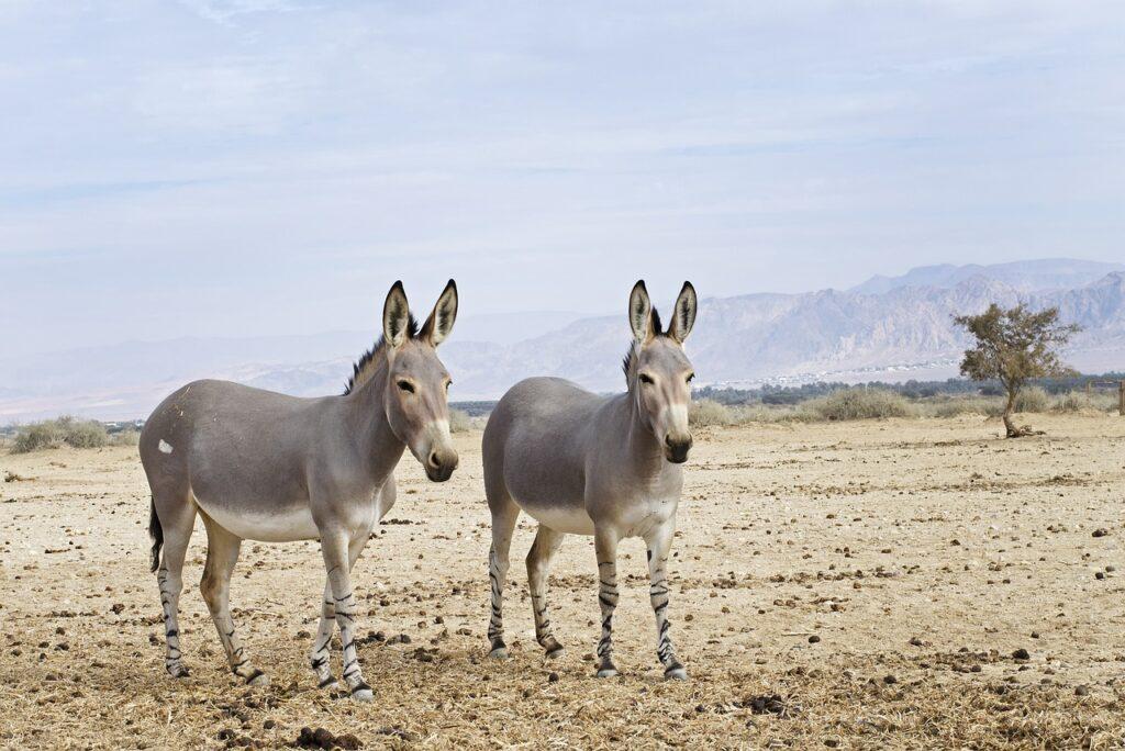 Somali Wild Ass Desert Negev Israel  - jdblack / Pixabay