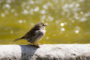 Sparrow Bird Urban Fauna Source  - josemdelaa / Pixabay