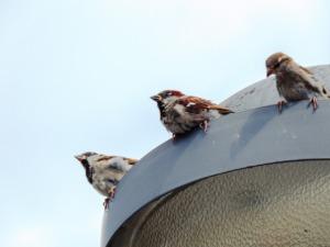 Sparrows Birds Perched Animals  - Wuschel-2307 / Pixabay
