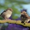 Sparrows Birds Perched Sperlings  - Oldiefan / Pixabay