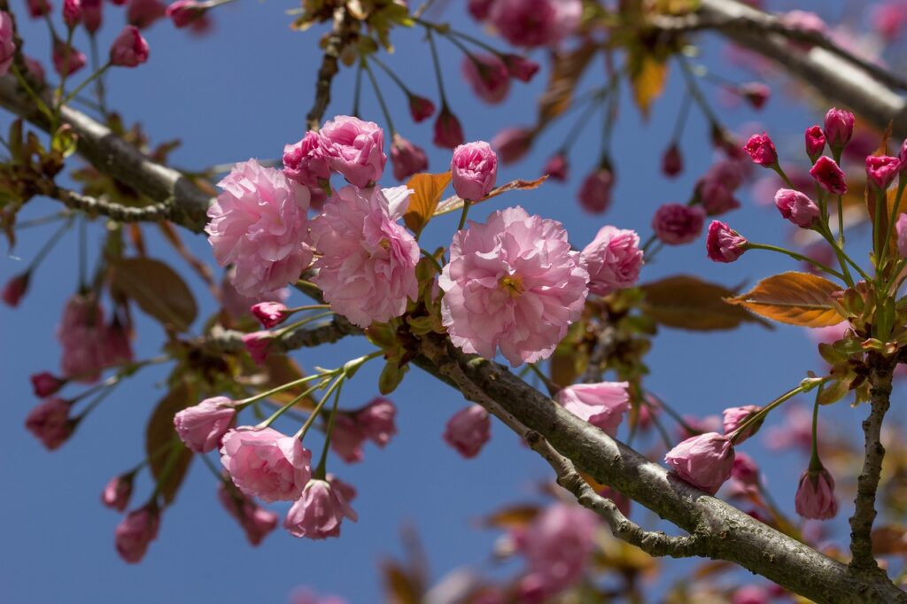 Spring Cherry Blossom Pink Blossom  - guvo59 / Pixabay
