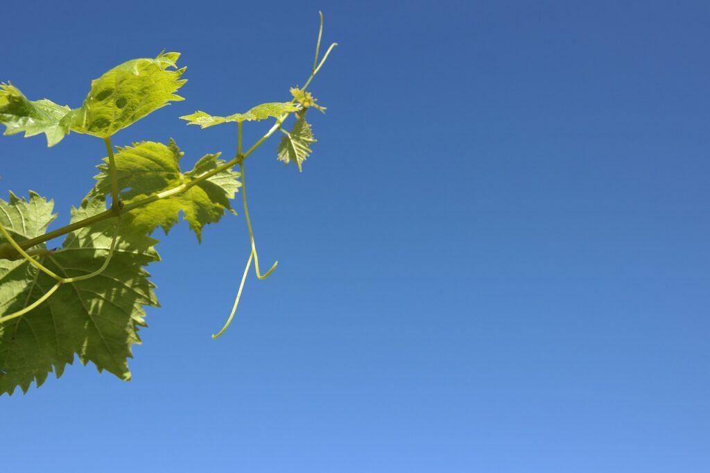 Spring Vine Reborn  - Adrianosilva / Pixabay