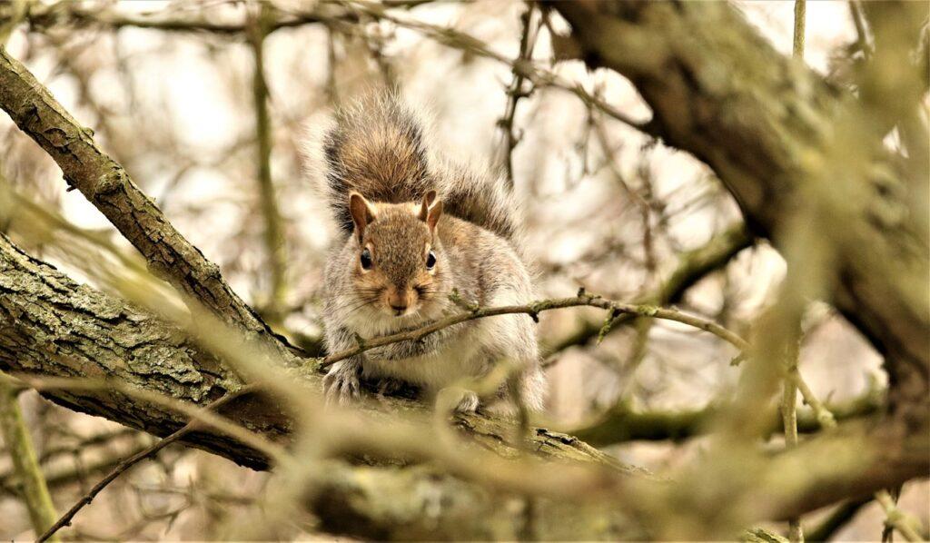Squirrel Rodent Tree Fluffy Animal  - DavidReed / Pixabay