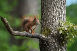 Squirrel Rodent Tree Wildlife  - artellliii72 / Pixabay