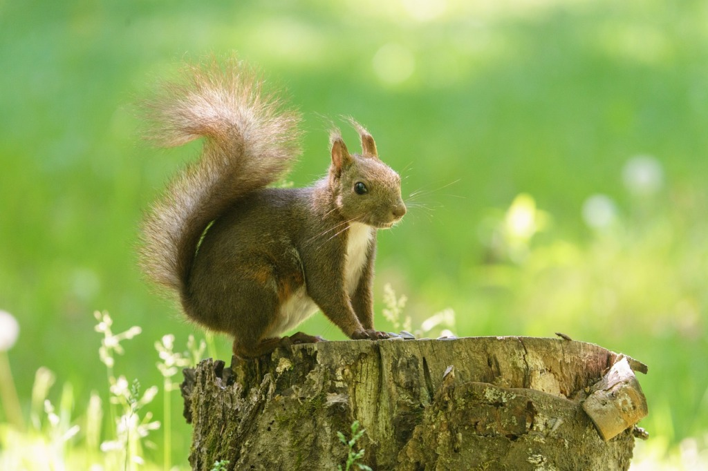 Squirrel Tokachi Japan Hokkaido  - makieni777 / Pixabay