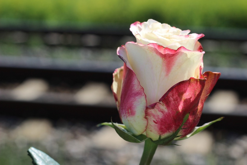 Stop Teenager Suicide Red White Rose  - GoranH / Pixabay