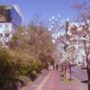 Street Magnolia Outdoors Trees  - May_hokkaido / Pixabay