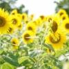 Summer Sunflower Sun Flower Flowers  - narumilk / Pixabay