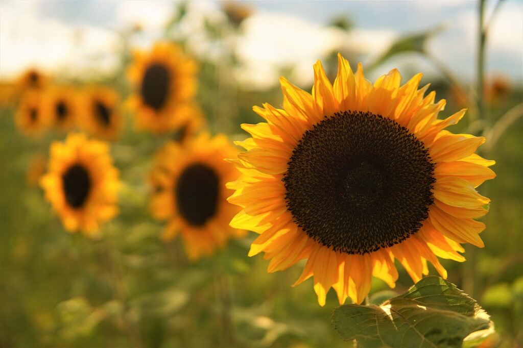 Sunflower Flower Plant  - mihail_stavrev78 / Pixabay