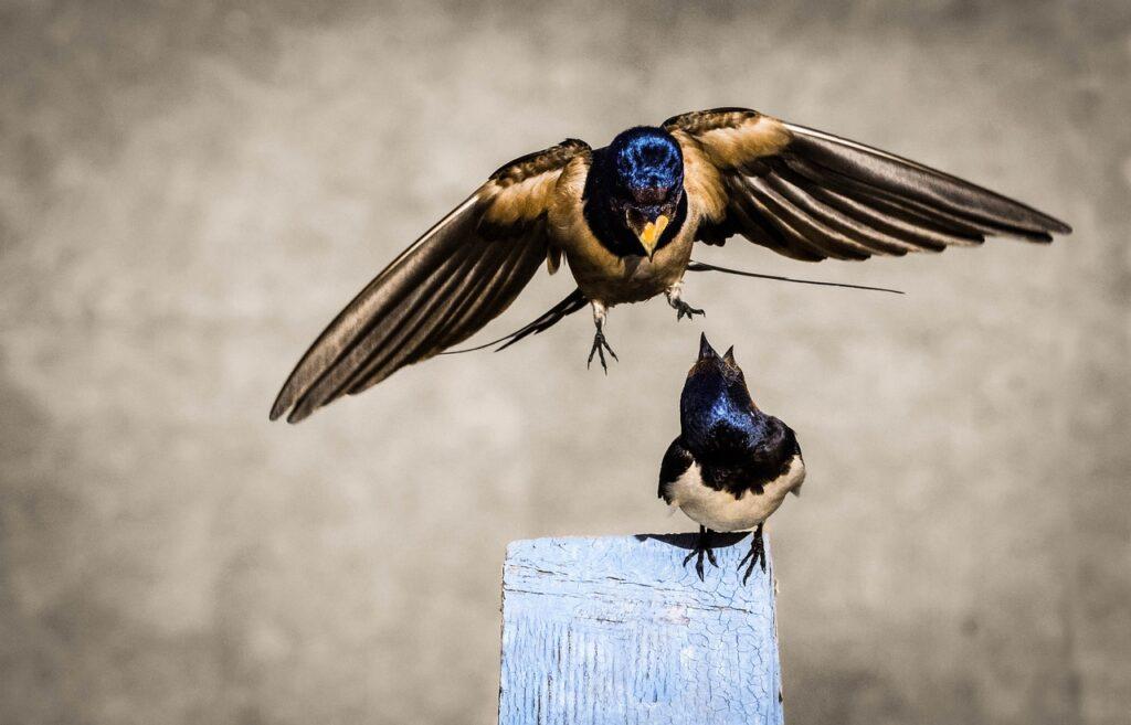 Swallow Birds Beak Plumage  - Gamopy / Pixabay