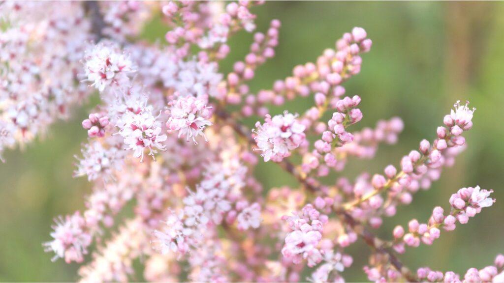 Tamarisk Tamarix Tree Pink Blossoms  - WhisperingJane_ASMR / Pixabay