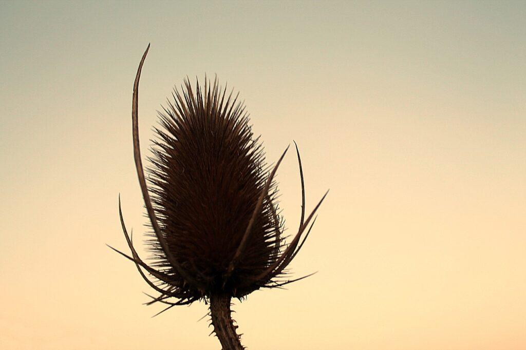 Thistles Arid Wild Plant  - Sabine_999 / Pixabay