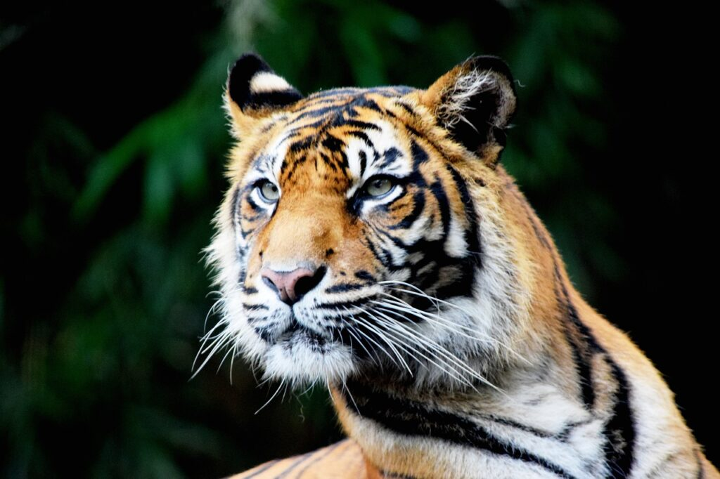 Tiger Animal Zoo Head Face Mammal  - carolynabooth / Pixabay