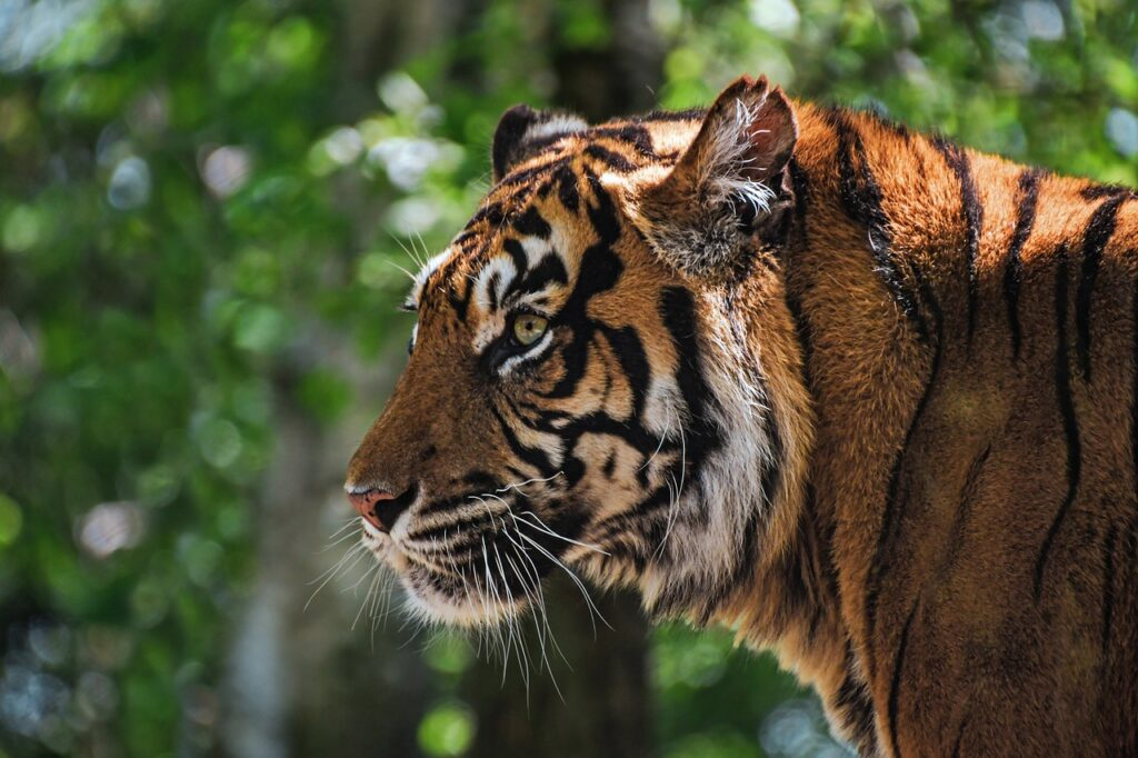 Tiger Tawny Head Profile Animal  - christels / Pixabay