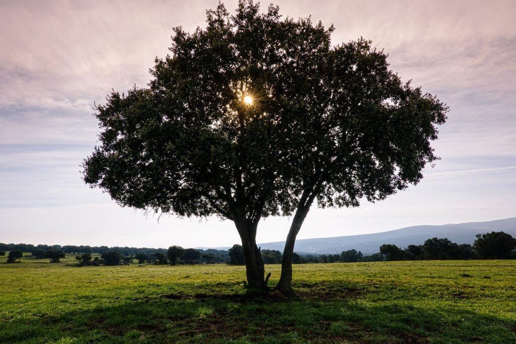 Tree Holm Oak Silhouette  - rperucho / Pixabay