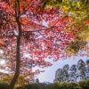 Trees Leaves Maple Autumn Nature  - mystraysoul / Pixabay