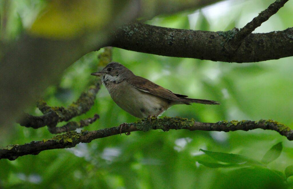 Tube Singer Bird Tree Branch  - koala0815 / Pixabay
