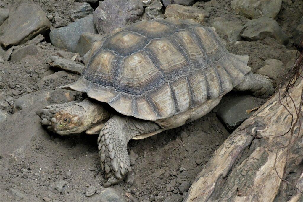 Turtle Shield Reptile Zoo Slowly  - Elsemargriet / Pixabay
