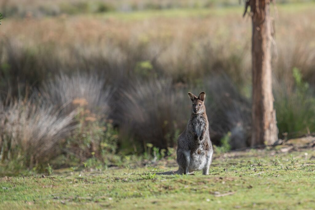 Wallaby Bennetts Wallaby  - pen_ash / Pixabay