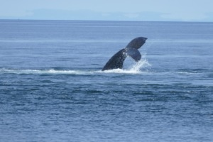 Whale Ocean Sea Canada Nature  - margrietbleeker / Pixabay