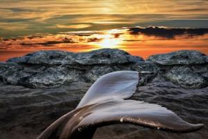 Whale Tail Sea Sunset Animal  - Ray_Shrewsberry / Pixabay