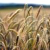 Wheat Field Grass Wheat Field  - matthiasboeckel / Pixabay