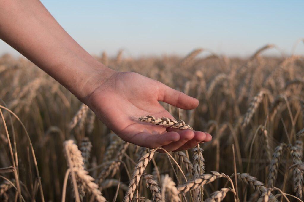 Wheat Field Hand Spikelets Crop  - 18879564 / Pixabay