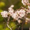 White Flowers Cherry Blossoms Sakura  - william12 / Pixabay