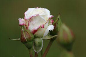 White Rose Rose Blossom Bloom  - KRiemer / Pixabay