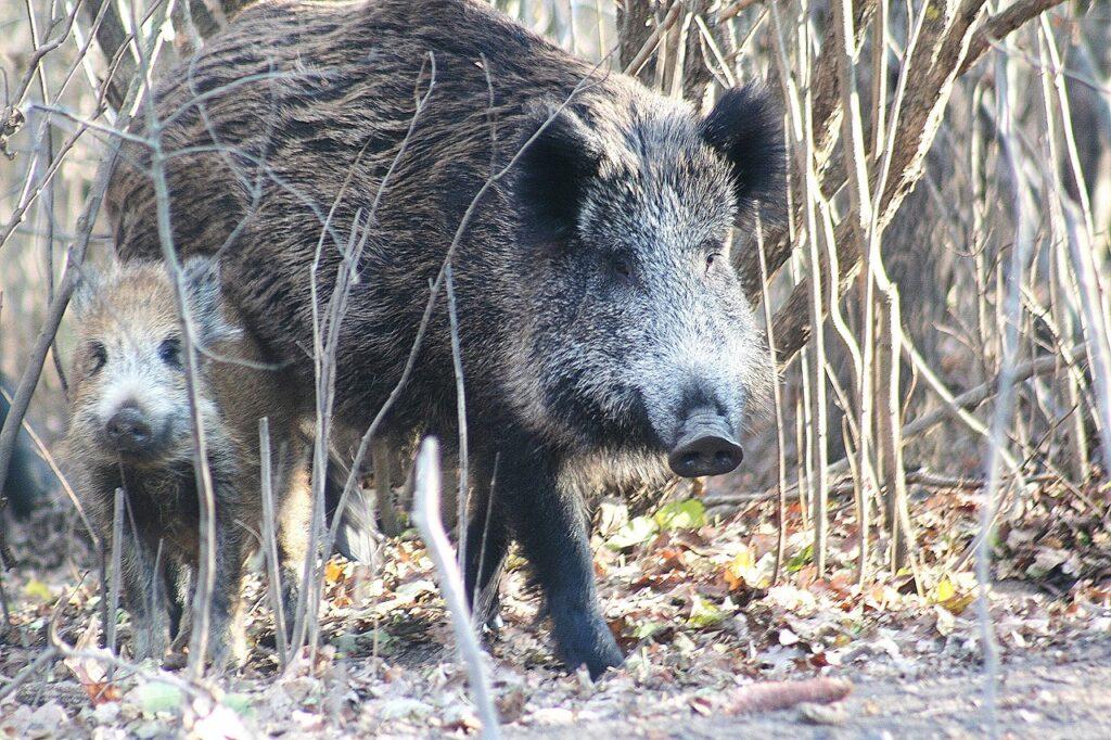 Wild Boar Animals Forest Boar  - TinnitusSounds / Pixabay