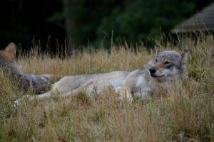 Wolf Animal Meadow Mammal  - verticallimit / Pixabay